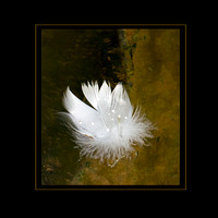 Swan Feather-framed